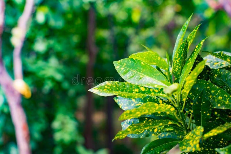 De mooie aardachtergrond van tuinboom of sierplanten Groene bladerenmengeling met geel punt Sluit omhoog van beeld in onduidelijk royalty-vrije stock afbeelding