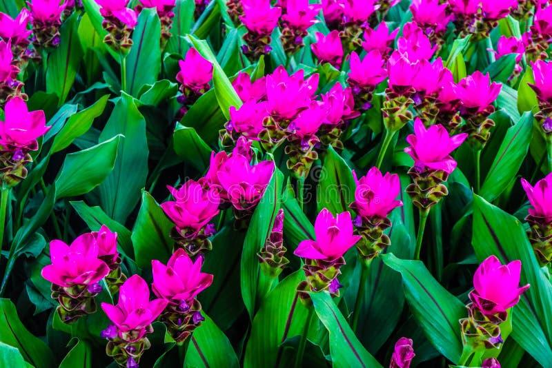 De mooie abstracte installaties van de bloemenbomen van de textuurkleur rode purpere en roze en boslandschap in het openbare pari royalty-vrije stock afbeelding