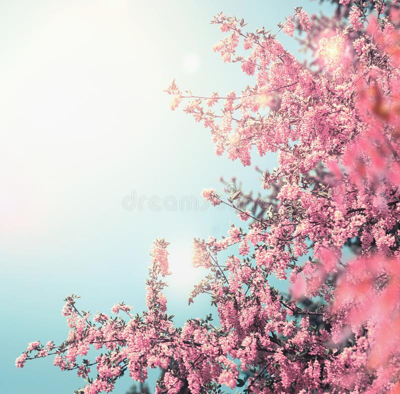 De mooie achtergrond van de bloesemaard met het roze bloeien van boom bij blauwe hemel met zonneschijn en bokeh royalty-vrije stock foto