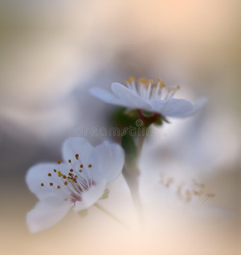 De mooie achtergrond van de de lenteaard Cherry Blossom Natuurlijk behang Bloemenart. De zomer, zon, licht Installatie, ecologie  royalty-vrije stock afbeelding