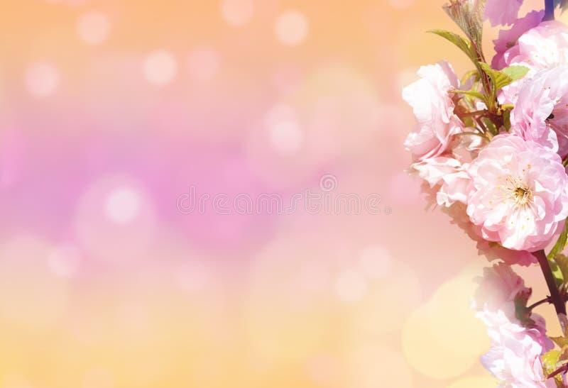 De mooie achtergrond van de de lenteaard met bloesem, bloemblaadje en bokeh op roze achtergrond De lenteconcept stock illustratie