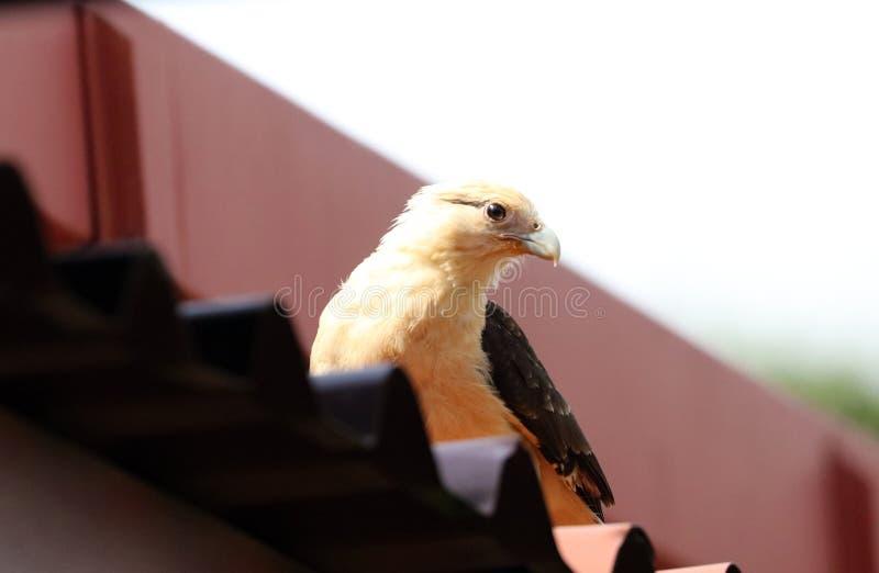 De mooie adelaar van de haviksvalk in de Costa Rica-wildernis die op het ` s wachten bidt royalty-vrije stock fotografie