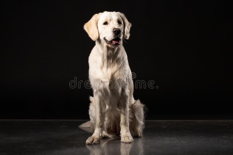De mooie beige zitting van de Labradorhond voor zwarte achtergrond royalty-vrije stock foto