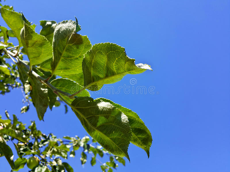 De mooie bladeren van de tuinappel en blauwe hemel stock fotografie