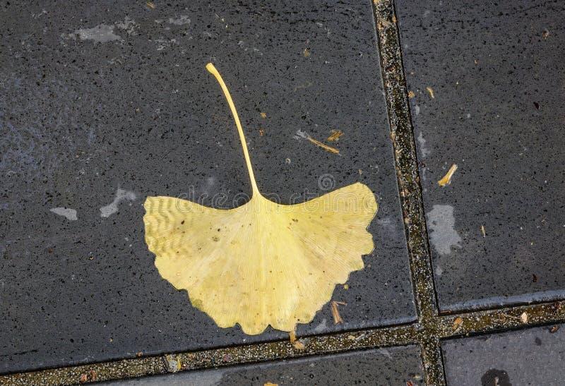 De mooie bladeren van de herfstginkgo royalty-vrije stock afbeeldingen