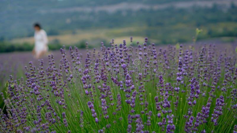 De mooie blauwe bloemblaadjes van Lavendelbloem komen in rij tot bloei bij een gebied, moutain op achtergrond stock afbeelding