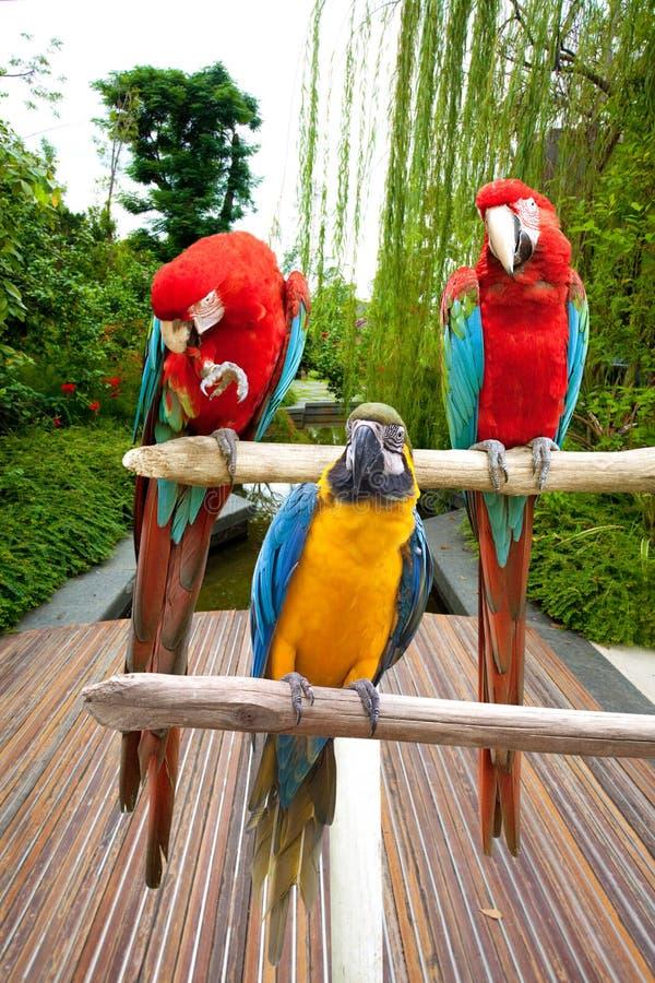 De mooie blauwe en scharlaken ara streek op een houten post neer door de tropische tuin royalty-vrije stock fotografie