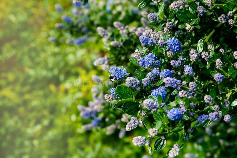 De mooie blauwe Sering van Californië in bloei stock foto's