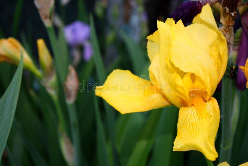 De mooie bloei van de de lenteiris op een zonnige dag op de lente royalty-vrije stock fotografie
