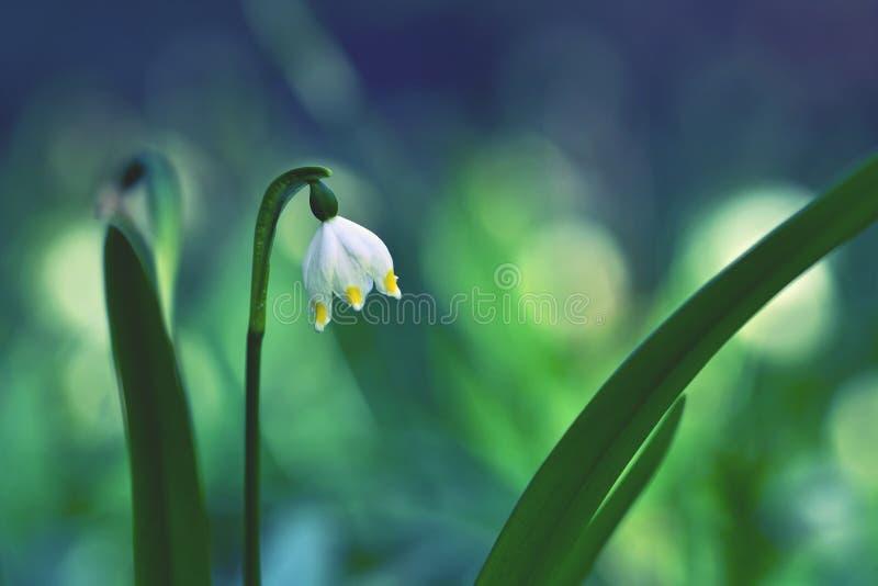 De mooie bloeiende bloemen van de lentesneeuwvlokken (carpaticum van leucojumvernum) stock afbeeldingen