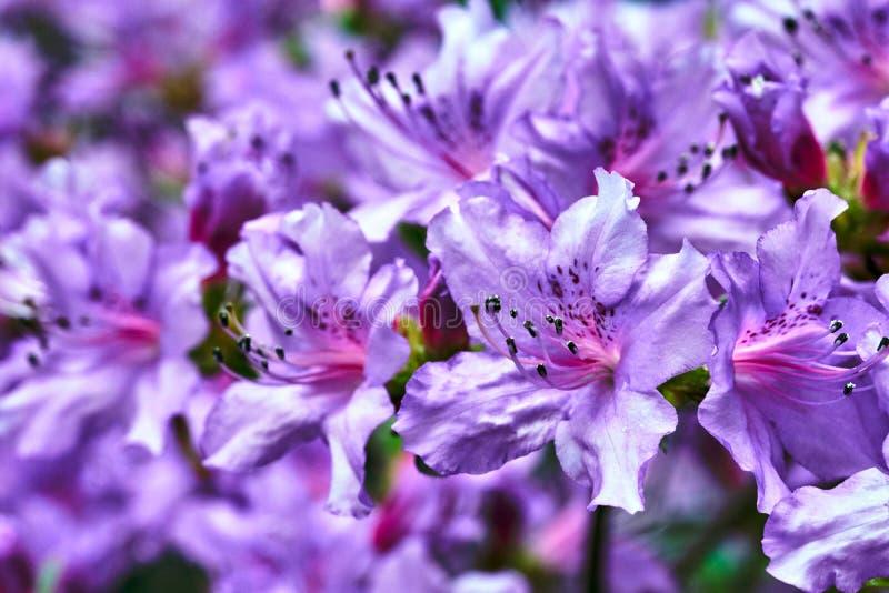 De mooie, bloeiende purpere bloemen van de azalealente in een tuin royalty-vrije stock fotografie