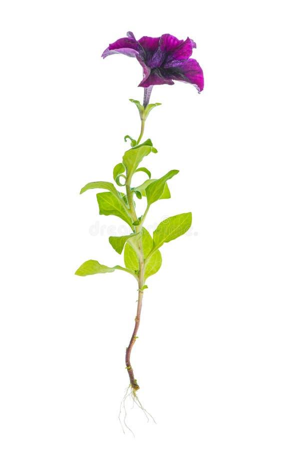 De mooie bloeiende purpere petuniabloem met wortels is geïsoleerd stock afbeeldingen