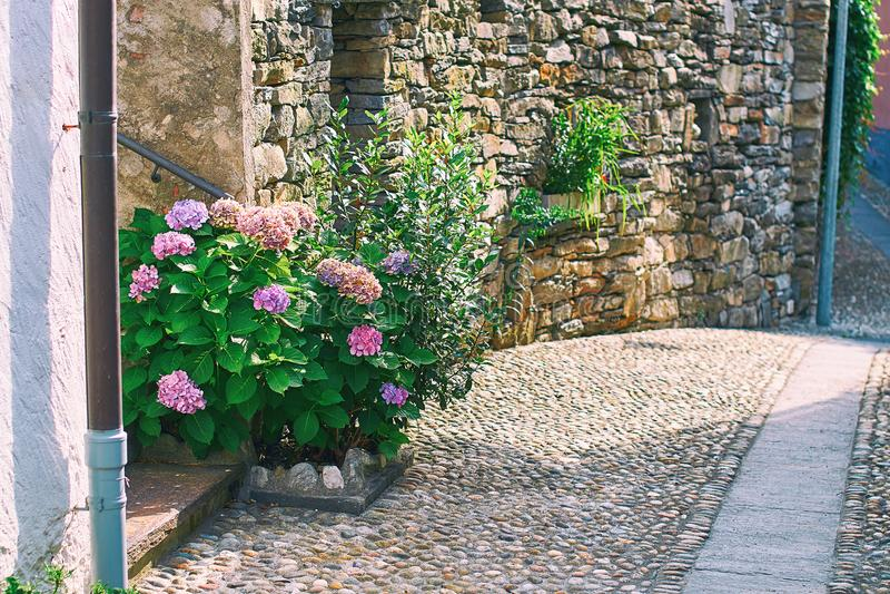 De mooie bloeiende violette hydrangea hortensia of hortensia ringt in de landelijke Zwitserse straat van het bergdorp in Zuidelij stock afbeelding