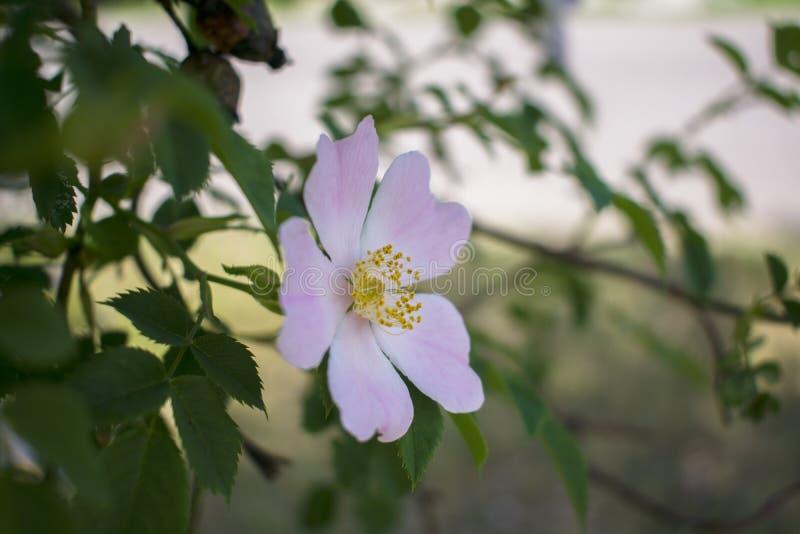 De mooie bloem die nam op een achtergrond van groene bladeren toe bloeien stock foto's