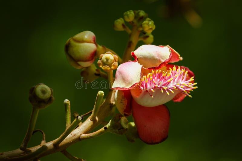 De mooie bloem van de Kanonskogelboom, Bloemboom, Boomtuin royalty-vrije stock foto