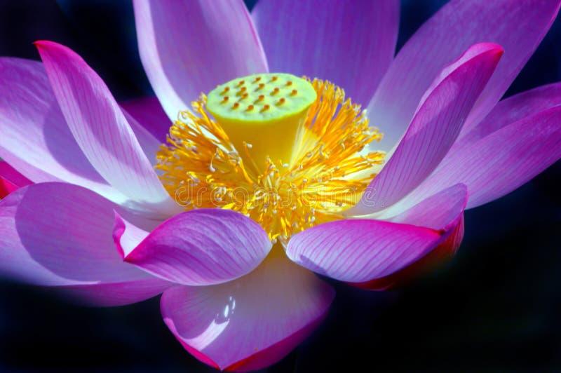 De mooie Bloem van Lotus stock afbeelding