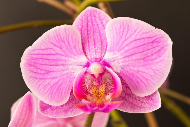 De mooie Bloem van de Orchidee Sluit omhoog Orchideeknop royalty-vrije stock fotografie