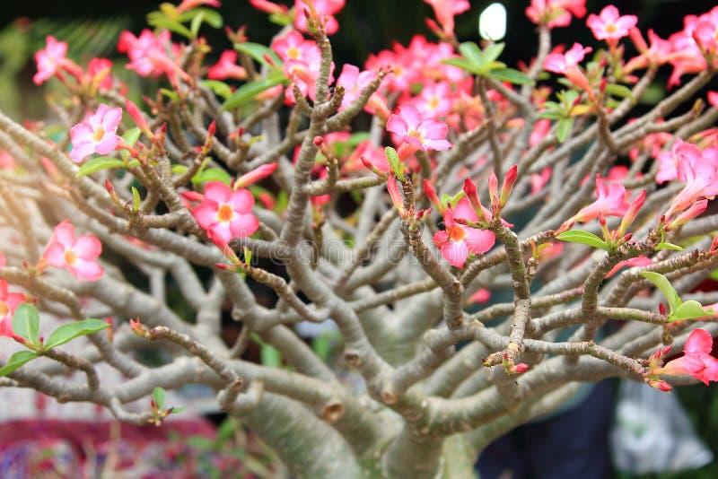 De mooie bloem voor feestelijke valentijnskaart, sluit omhoog vele roze Azaleabloemen die in de tuinbinnenplaats bloeien stock foto