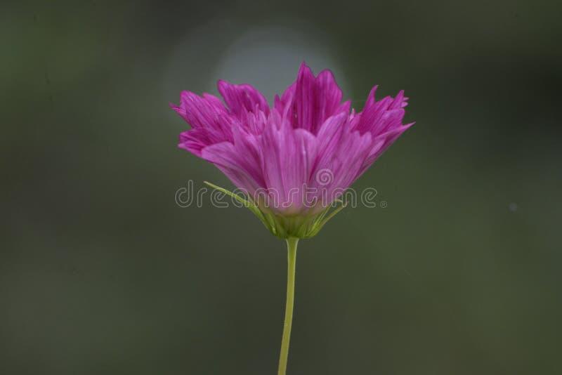 De mooie bloemen in de Kolibries van een tuinhulp vinden een plaats om nectar te vinden royalty-vrije stock fotografie