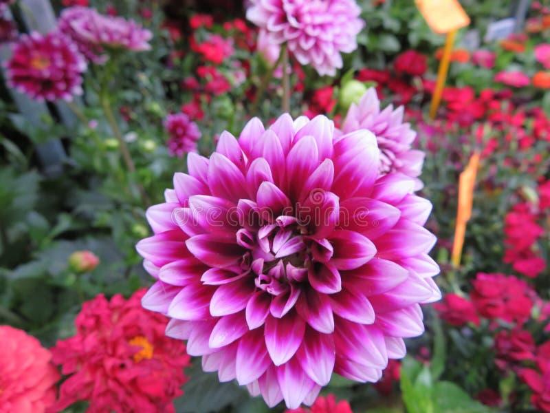 De mooie bloemen met zeer intense kleuren en kleur is tevredenstellend aan het oog stock afbeeldingen