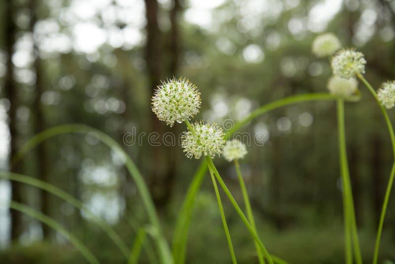 De mooie bloemen van Alliumtuberosum en dauwdalingen stock foto