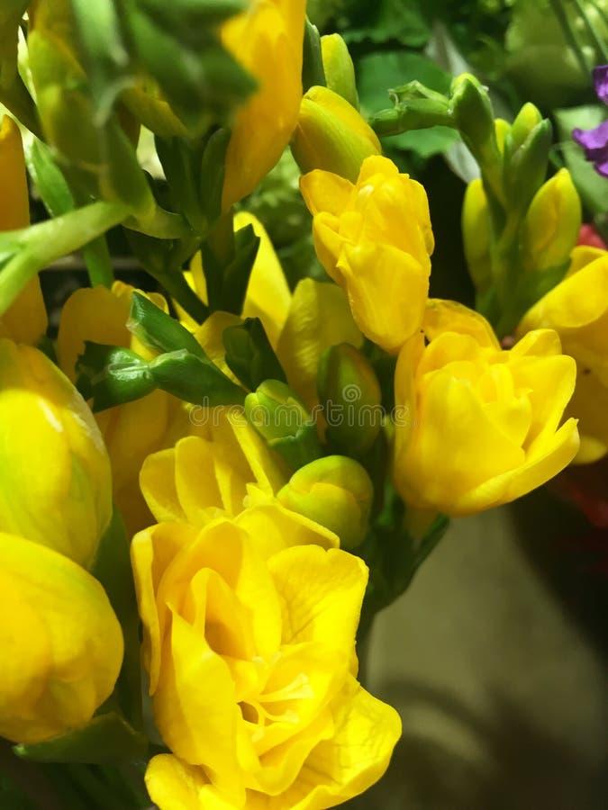 De mooie bloemen van de bloesem Gele fresia, sluiten omhoog, bloemenachtergrond Gele Fresiabloem, close-up stock foto's