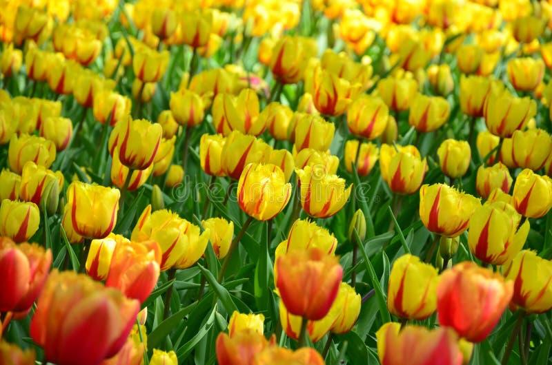 De mooie bloemen van de de lentetulp in Keukenhof-park in Nederland Holland stock fotografie