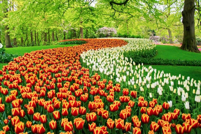De mooie bloemen van de lentetulpen in park, Nederland Holland stock fotografie