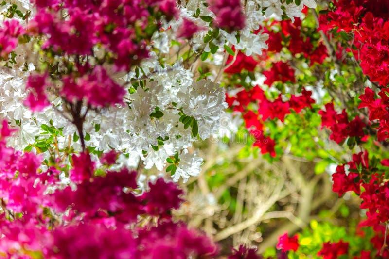 De mooie bloemen van de Rododendronsimsii van volledige bloei kleurrijke Indische Azalea's stock foto's