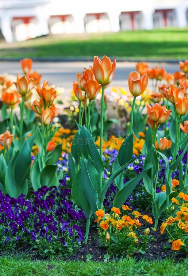De mooie Bloemen van de Tuin Heldere tulpen die in de lentepark bloeien Stedelijk landschap met decoratieve installaties stock afbeelding