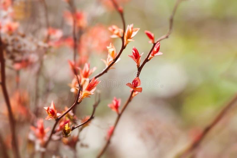 De mooie bloemenachtergrond van de de lentetijd Boomtak met tot bloei komende rode roze bladeren macrobeeldinstallatie, zonnige d stock foto's