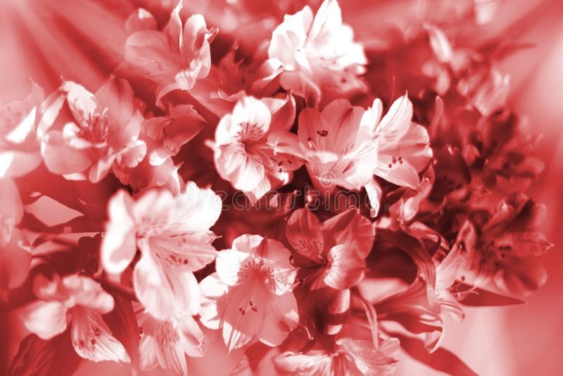 De mooie bloemenachtergrond in warme rode en witte zachte kleuren, lelie bloeit in de close-up van zonstralen royalty-vrije stock afbeeldingen