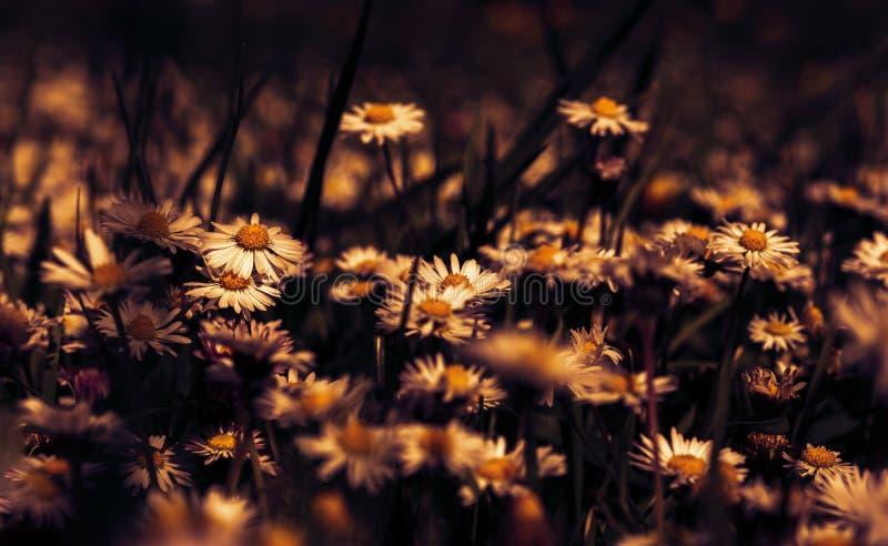 De mooie bloesem van de madeliefjebloem op wild gebied in zonsonderganglicht Zachte nadruk Creatieve donkere gestemd rustig De ka royalty-vrije stock afbeeldingen