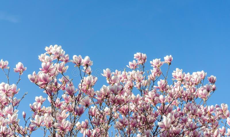 De mooie bloesems van de magnoliaboom in de lente Zachte magnoliabloem tegen blauwe hemel stock fotografie