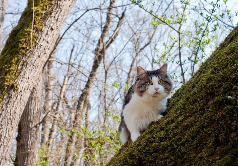De mooie bobtail van kattenkurilian loopt in de lente in het park op een leiband Huisdierenzitting op een boom, close-upportret P royalty-vrije stock fotografie
