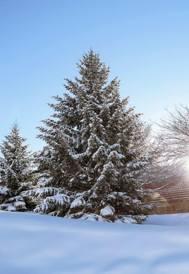 De mooie bomen van sneeuwpijnbomen, bergen, Franse alpes stock afbeeldingen