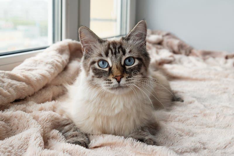 De mooie bontkat van het puntkleur van de verbindingslynx met blauwe ogen ligt op een roze deken stock foto's
