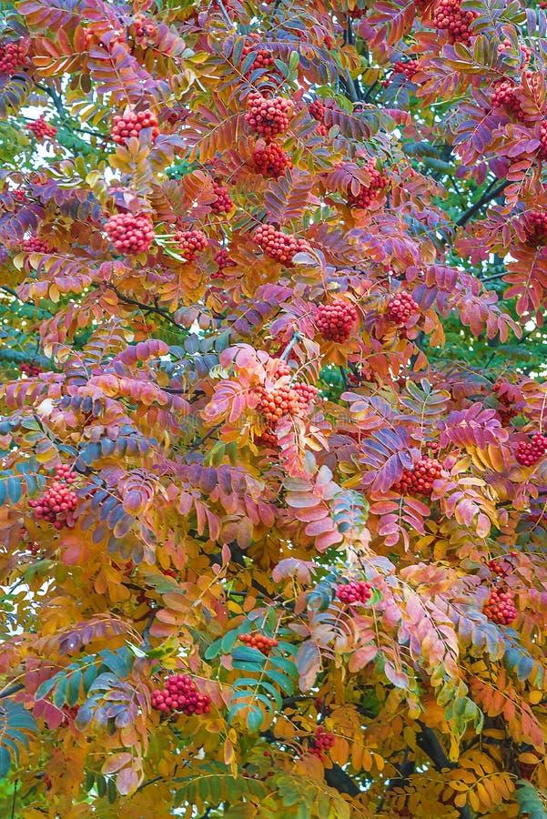 De mooie boom van bergashor rown met rode bessen en multicolored bladeren op de herfst stock fotografie