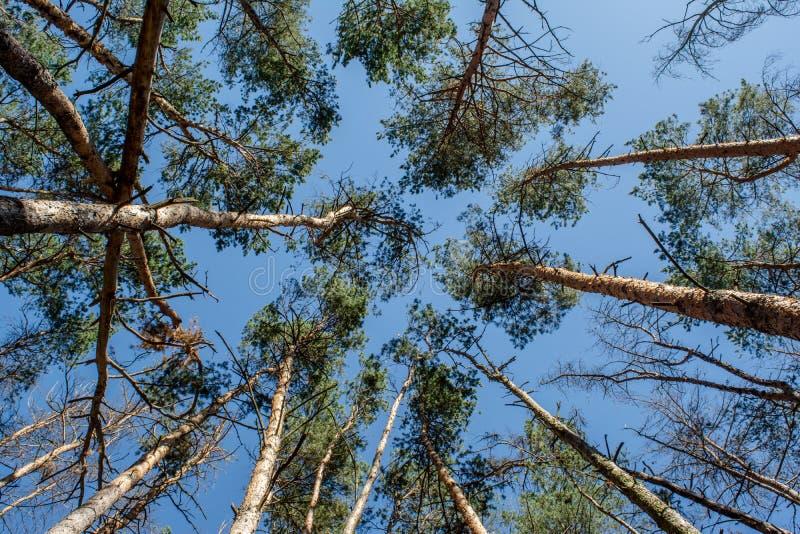 De mooie bovenkanten van de pijnboomboom ` s met blauwe hemel op de achtergrond tijdens zonnige de zomerdag royalty-vrije stock foto