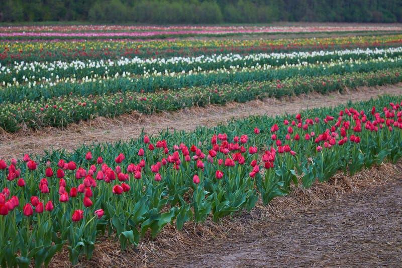De mooie close-up van het tulpenbloembed De achtergrond van de bloem stock foto