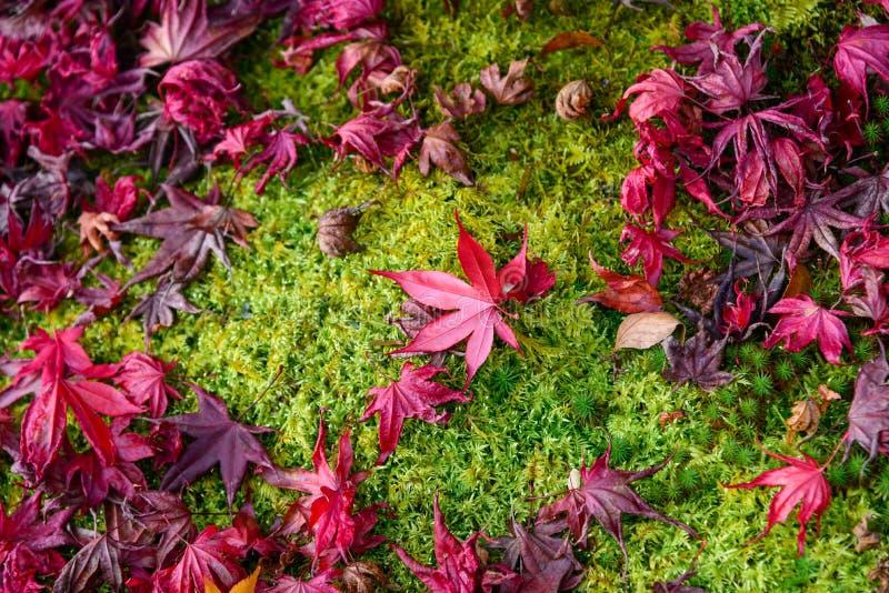 De mooie de herfstkleur van Japan de Japanse rode daling van esdoornbladeren op groene grasachtergrond stock foto's