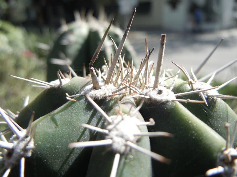 De mooie dichte omhooggaande macro van cactuscactae royalty-vrije stock afbeelding