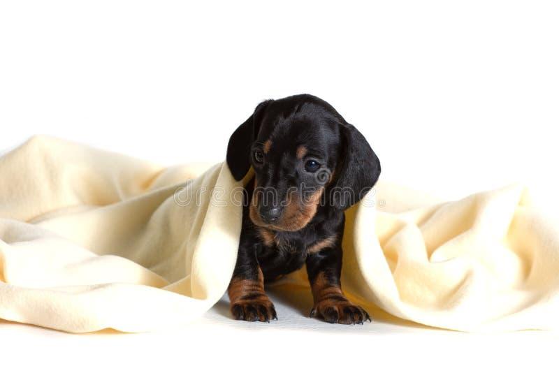 De mooie die zitting van de puppytekkel, met een gele deken wordt behandeld, en vooruit het kijken royalty-vrije stock afbeelding