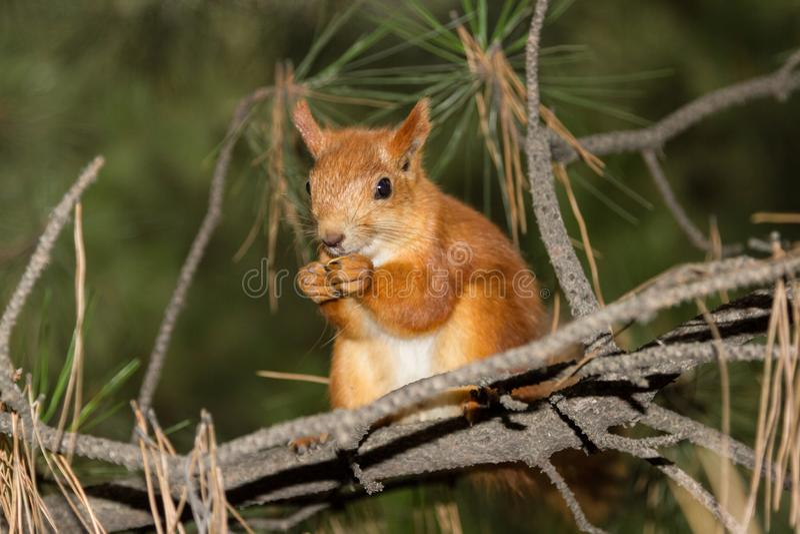 De mooie eekhoorn op de tak onderzoekt de lens royalty-vrije stock afbeelding