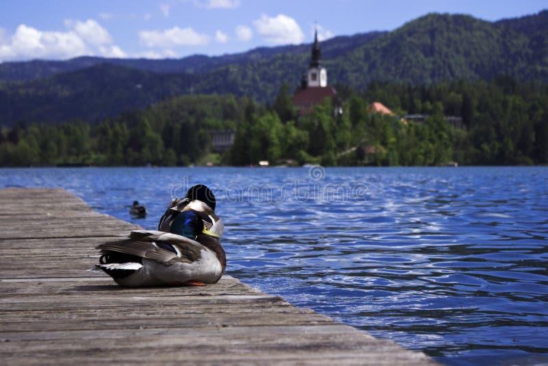 De mooie eenden zwemmen op het Afgetapte meer, Sloveni? De watervogelsrust bij de pijler, zwemt in het meer tegen de achtergrond  royalty-vrije stock fotografie