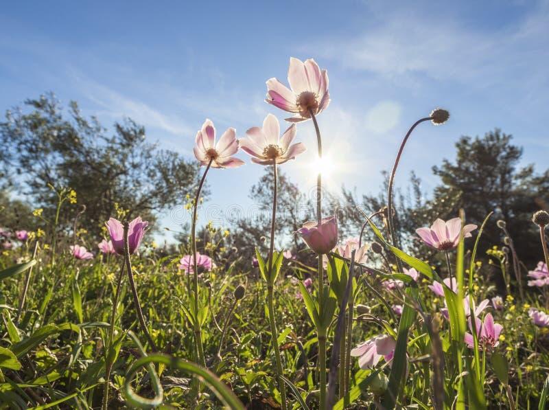 De mooie eerste anemoon van de lente rood-purpere bloemen op een zonnige dag onder groen gras stock fotografie