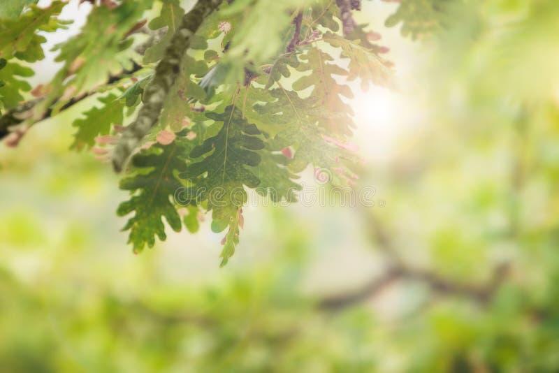 De mooie eik verlaat op een tak door hen onderbrekingen een straal van zon stock foto