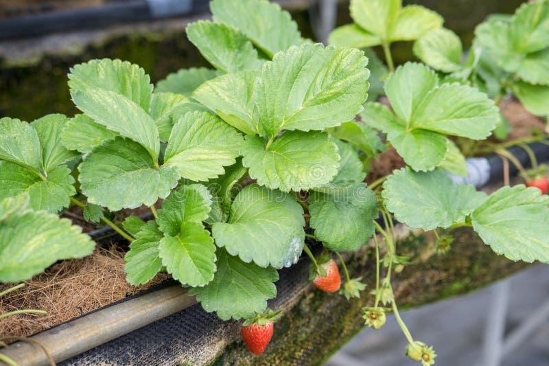 De mooie en verse aardbeien in de tuin, concept de organische landbouw, sluiten omhoog, macro royalty-vrije stock afbeeldingen