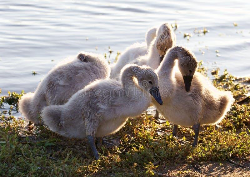 De mooie familie van jonge zwanen maakt hun veren schoon stock fotografie