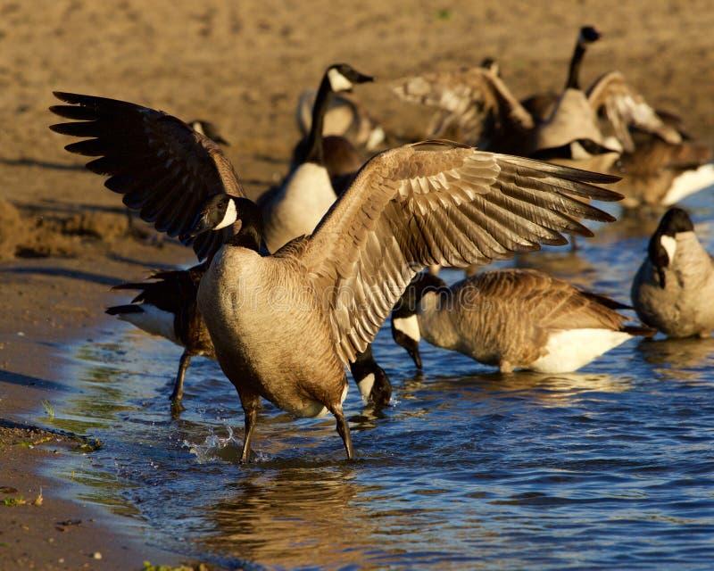 De mooie gans van Canada spreidt zijn sterke vleugels op het strand uit royalty-vrije stock foto